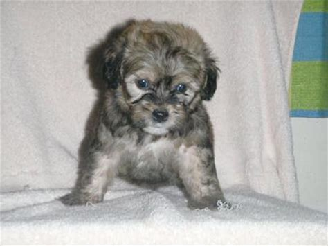 shih tzu poodle mix price shih tzu poodle puppy sold 7 years 1 month poodle mix shih tzu from setapak