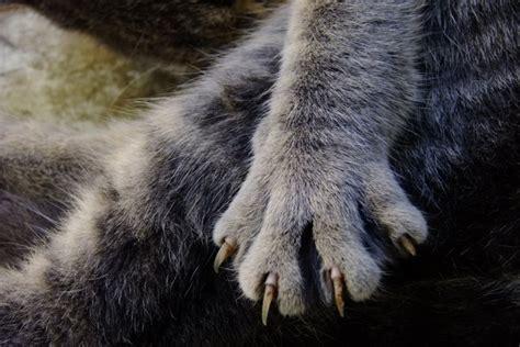 peut on couper les griffes des chats le d 233 griffage du chat remis en question nuage ciel d azur
