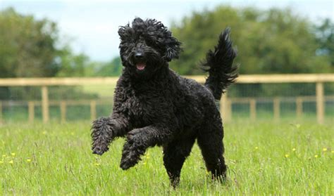 doodle lifespan labradoodle breed information