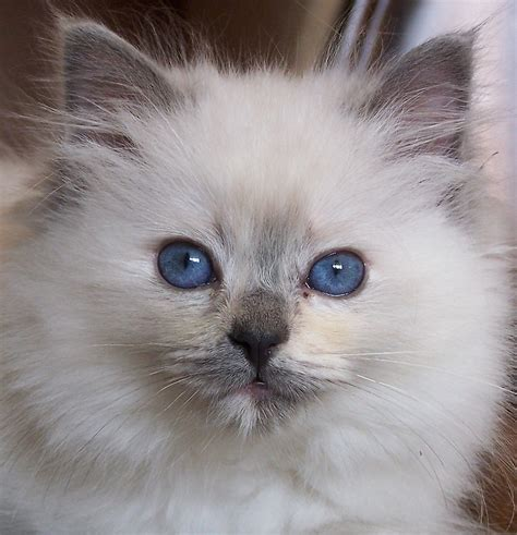 a ragdoll cat ragdoll cats cats