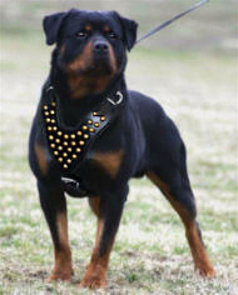perros rottweiler todo sobre el perro de raza rottweiler mascotas