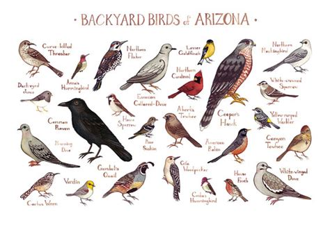 backyard birds northton ma arizona backyard birds field guide art print watercolor