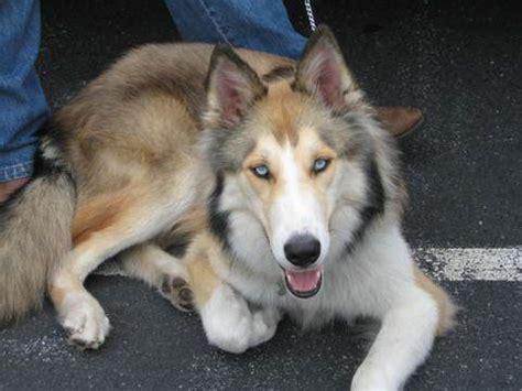 siberian husky mix puppies collie and siberian husky mix sharp individual dogs siberian