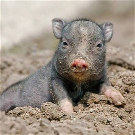 baby pot belly pig all animals big small pinterest