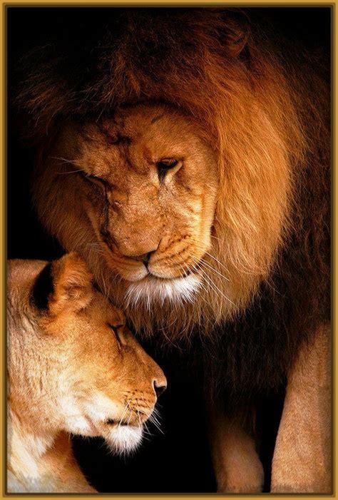 imagenes de leones amorosos imagenes de parejas de leones enamorados archivos