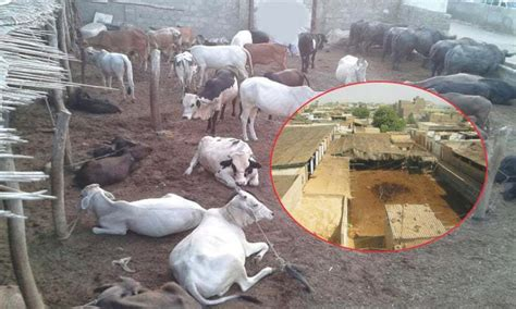 slaughter house hyderabad s slaughter houses newspaper dawn com