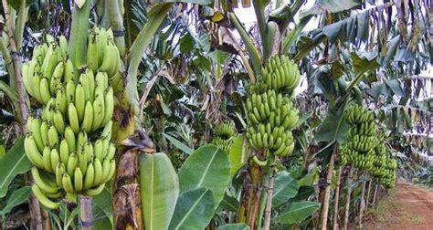 Tanaman Kebun Taman Hidup Bibit Unik Nangka Merah cara mudah menanam budidaya buah pisang tips panduan lengkap