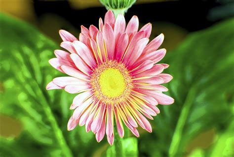 china aster flowers what are growing conditions for