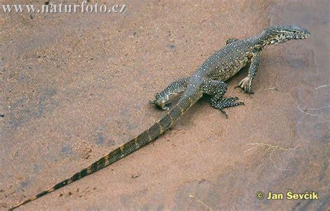 Nile Monitor nile monitor photos nile monitor images nature wildlife