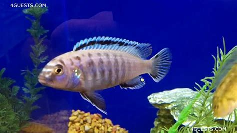 how to your to be less aggressive cichlid fishes aggressive territorial