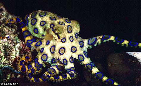 Picture Of A Blue Ring by Blue Ringed Octopus Wallpapers Animal Hq Blue Ringed