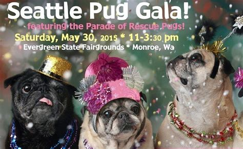 pug adoption seattle this seattle pug rescue gala will put a smile on your and remind you