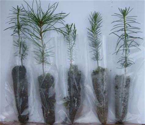 christmas tree seedlings santa claus and christmas