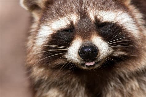 Find Pics Of I Toronto Wages War On Raccoon Nation But Experts Say The Animal Is Here To Stay