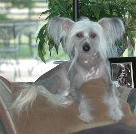 yorkie rescue vancouver ready for adoption terrier yorkie miniature schnauzer breeds picture