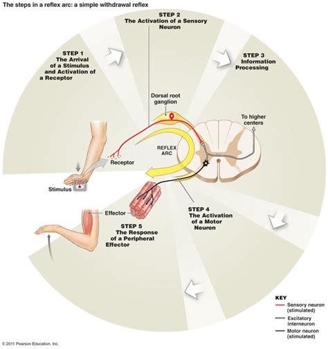 Detox Nervous System by 17 Best Images About Nervous System On Biology