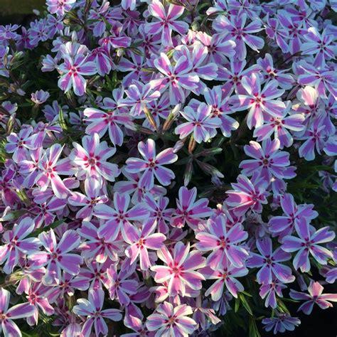 creeping phlox candy stripes perennial flowers in my