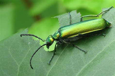 imagenes de insectos verdes besouro venenoso lytta vesicatoria