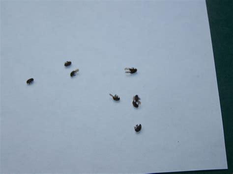 schwarze fensterbank kleine schwarze fliegende k 228 fer hausgarten net