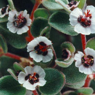Bibit Euphorbia pilih harga bibit bersahabat untuk bibit tanaman hias