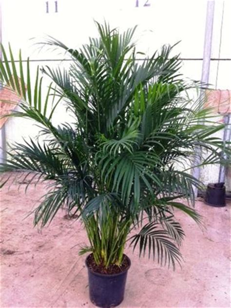 cateracterum palm 14 cat palm 32 50 z plants the best florist quality