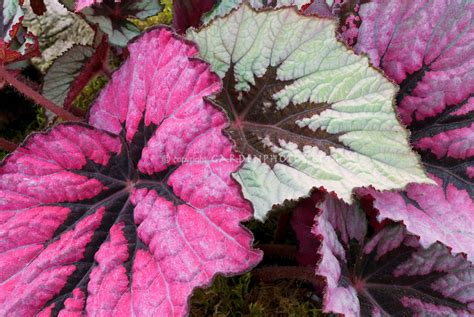 pink foliage plants begonia rex houseplant plant flower stock photography