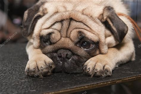 what does pug stand for sad pug stock photo 169 wedmoscow 64876063