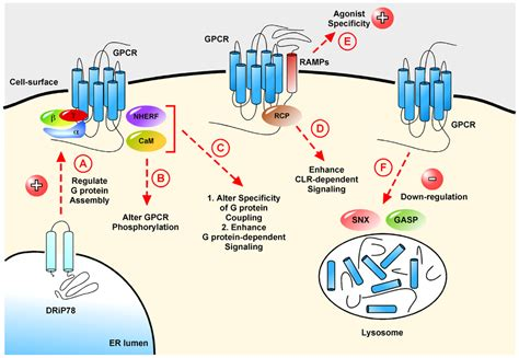 g protein activation steps ijms free text g protein coupled receptors what