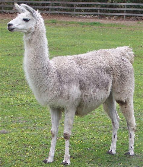 imagenes de animales llamas i am a cute little llama i am a cute little llama