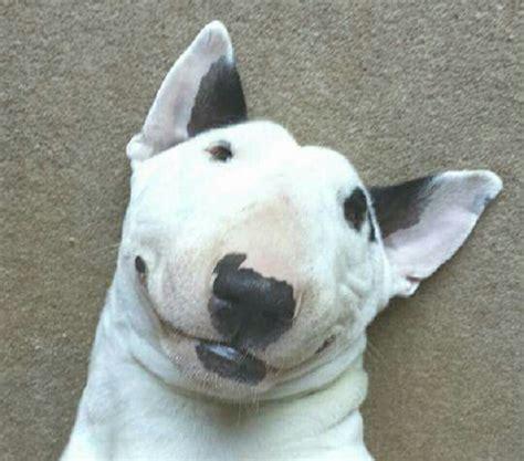 bull terrier memes   time  paws