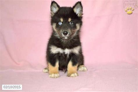 pomsky puppies for sale in ohio pomsky puppy for sale in ohio http www buckeyepuppies puppy for sale pomsky ike