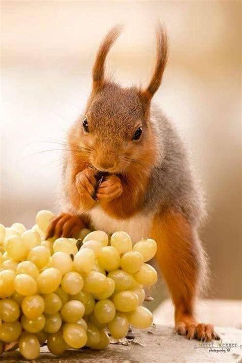 squirrel eating grapes squirrels pinterest squirrel