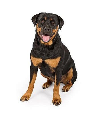 are rottweilers hypoallergenic rottweiler mix breed information