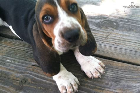 basset hound puppies for sale in ohio tater basset hound puppy for sale near cincinnati ohio 6492b65e b5b1
