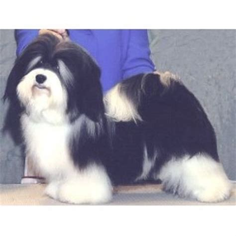 havanese rescue indiana havanese breeders and kennels freedoglistings page 8