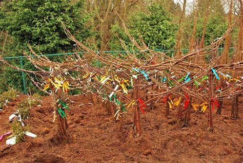 bare root fruit trees the bare necessities everything you need to about bare root swansons nursery seattle s