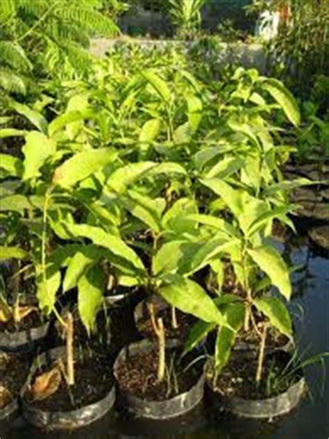 Bibit Mangga Gedong Gincu Indramayu mangga indramayu bibit pohon mangga