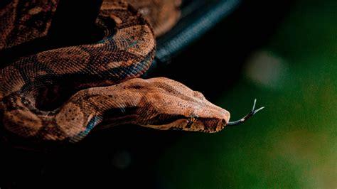 wallpaper snake close  grey brown skin animal