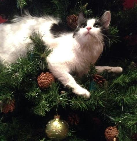 cats vs christmas trees you can not miss these cute pictures