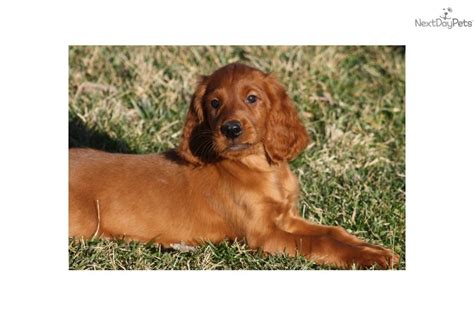 irish setter show dogs for sale irish setter puppy for sale near louisville kentucky