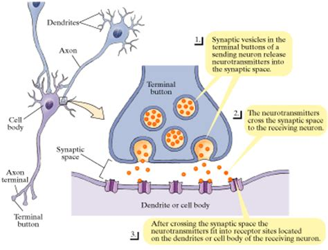 Neurotransmitters Also Search For Receptors Neurotransmitter Neurohumor Receptors Neuromediator Receptors