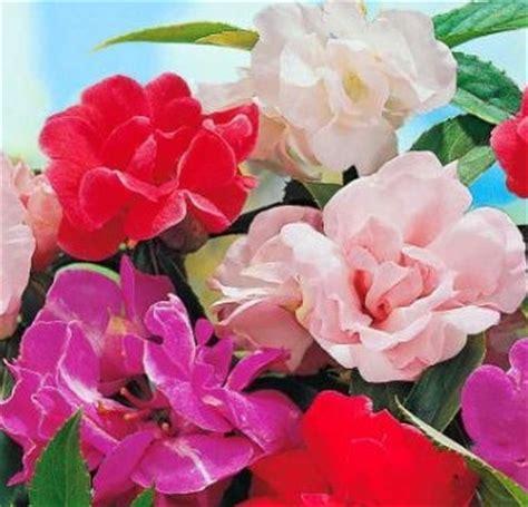 15 Benih Bunga Sweet William Mix bibit bunga balsam