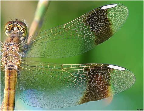 tutorial ali di libellula le ali della libellula foto immagini macro e close up