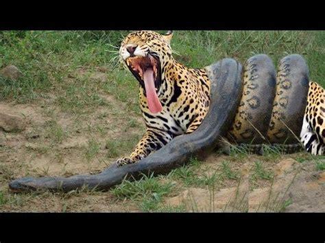 jaguar vs anaconda vs jaguar python vs tiger python vs