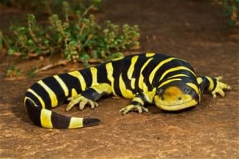 tiger salamander animal wildlife