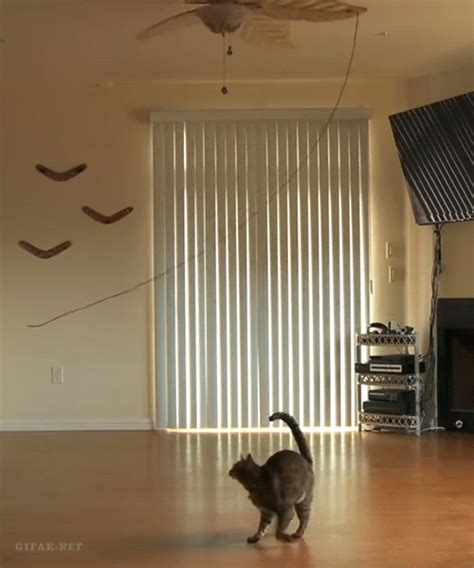 Cat In Ceiling Fan by Cats Reaction To Seeing The Ceiling Fan Move For The