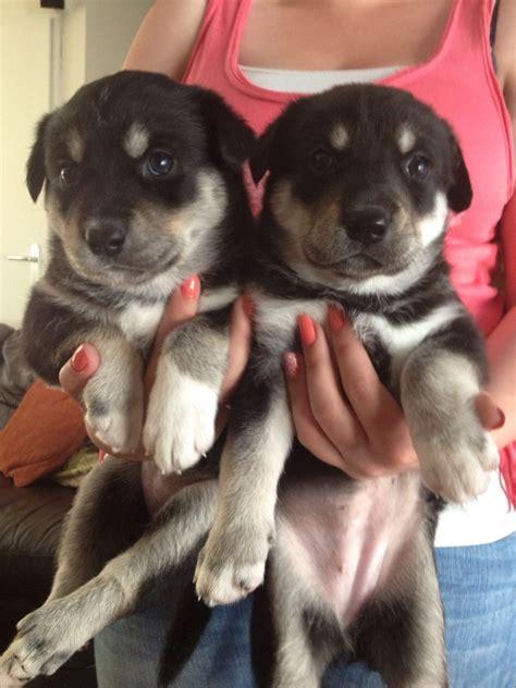 huskador puppy huskador puppies aboyne aberdeenshire pets4homes