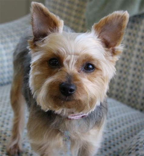 male yorkie haircuts 17 best images about yorkie haircuts on pinterest puppys