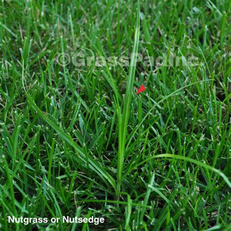killing grass nutsedge killer images search