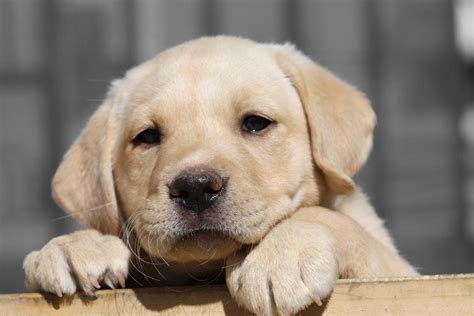 how to a lab puppy labrador retriever puppy hd wallpaper animals wallpapers